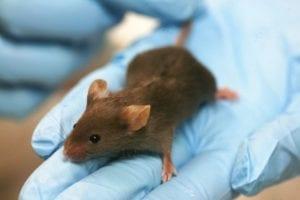 Ratón de laboratorio. Por Rama (Trabajo propio) [CC-BY-SA-2.0-fr (http://creativecommons.org/licenses/by-sa/2.0/fr/deed.en)], undefined