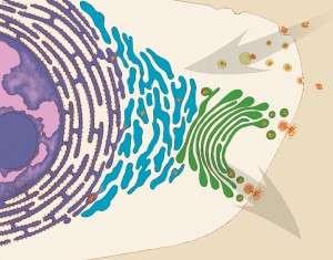 Tráfico vesicular en el interior de la célula. Imagen: Judith Stoffer (Image and Video Galery NIH)