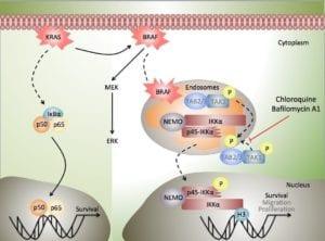 Los inhibidores de la actividad endosomal (como la cloroquina o la bafilomicina A1, que ya se usan en el tratamiento de otras condiciones humanas) impiden la activación de p45-IKK por parte de BRAF en las células de cáncer de colon, inhibiendo así el crecimiento tumoral tanto in vivo como in vitro. Imagen: L. Espinosa (IMIM).