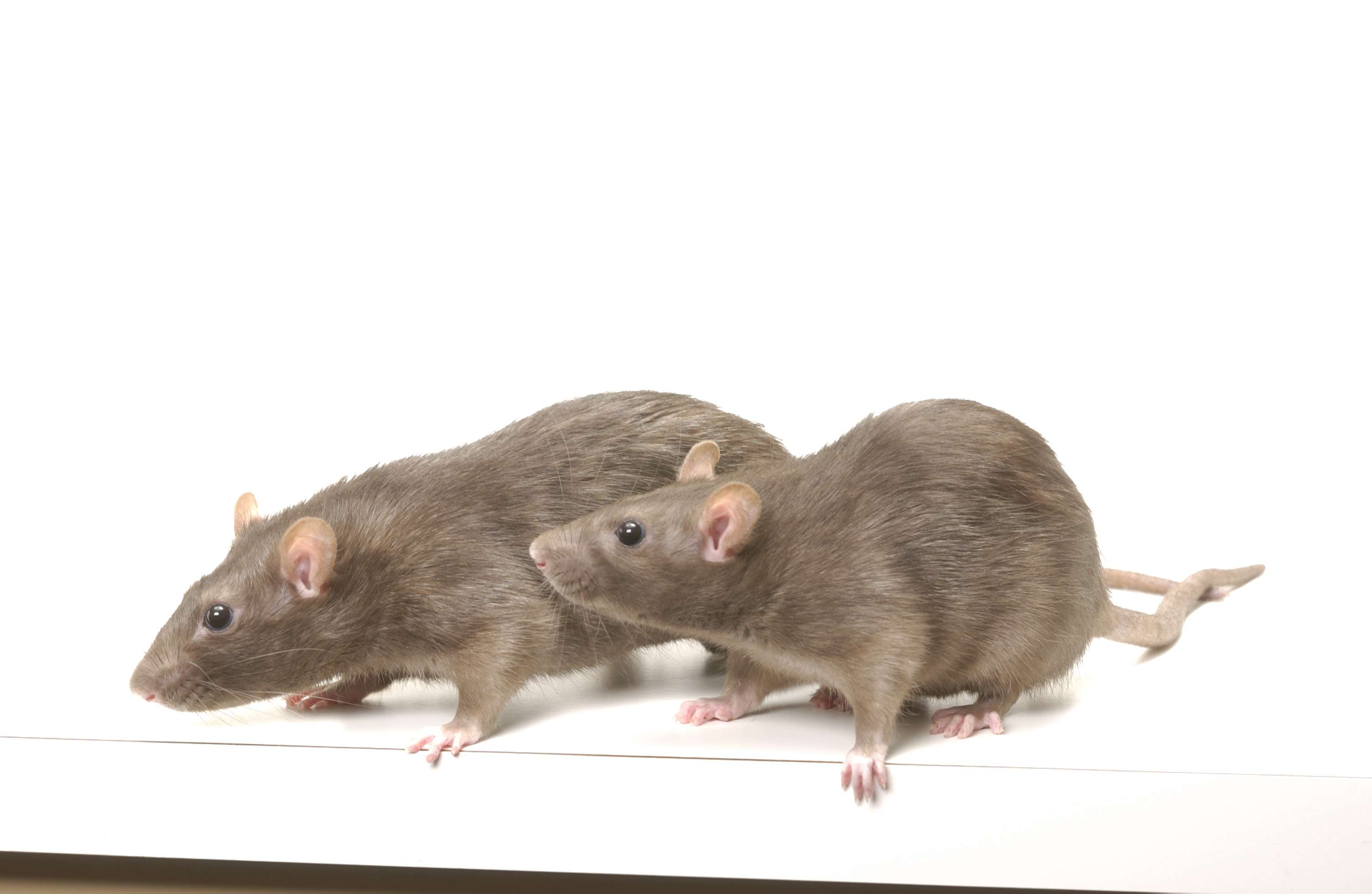Ratas de laboratorio. Imagen: Bill Branson, National Institute of Health, EEUU