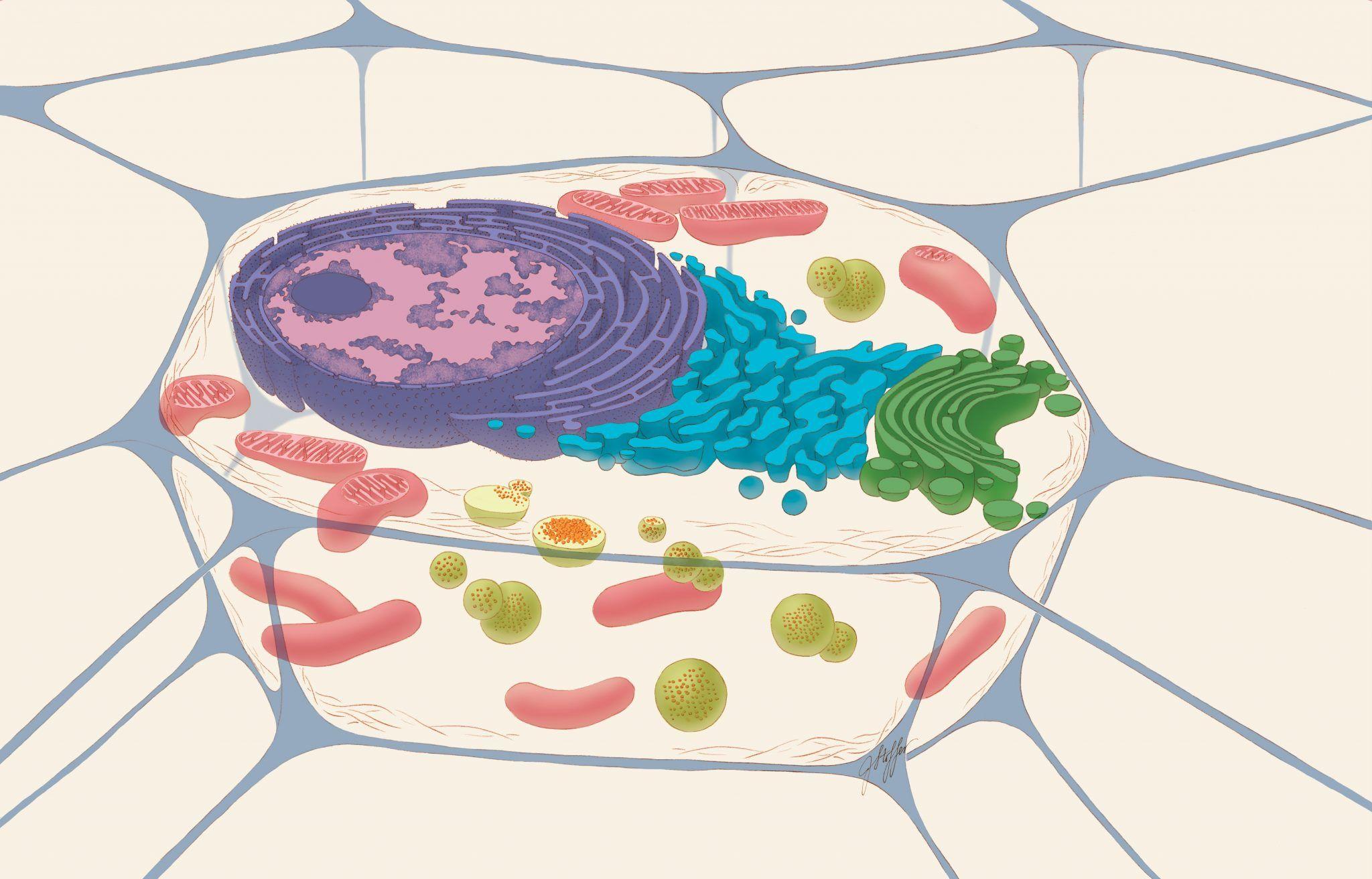 Dos estudios indican que la mutación en C9orf72 asociada a la esclerosis lateral amiotrófica y la demencia frontotemporal está implicada en el transporte de biomoléculas entre el núcleo y resto de la célula.. Representación de una célula animal típica, en la que se observan, entre otros orgánulos múltiples mitocondrias. Imagen: Judith Stoffer, National (Institute of General Medical Sciences, NIGMS).