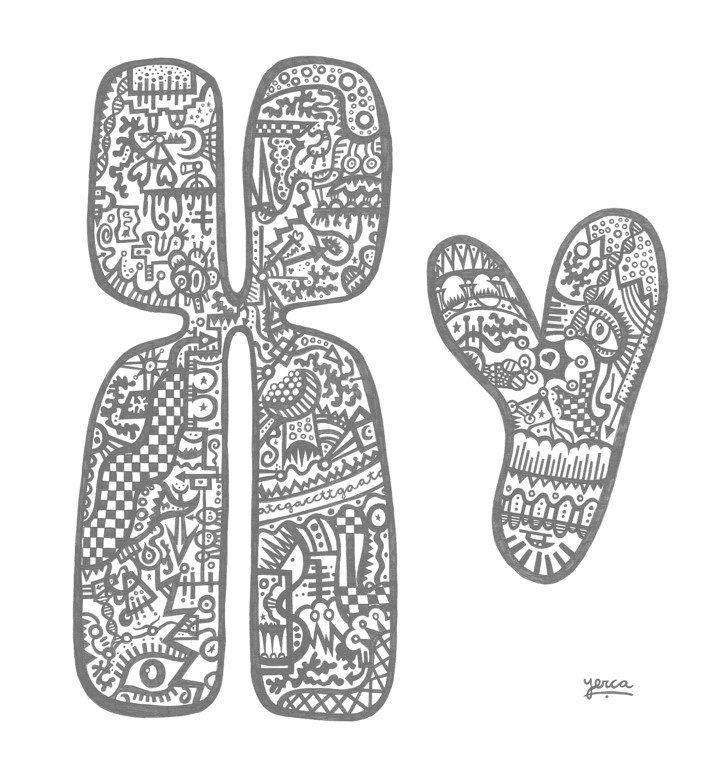Cromosomas sexuales, responsables de la determinación del sexo en la especie humana. Imagen cortesía de Marta Yerca.