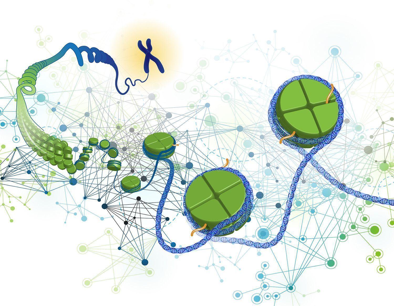 diferentes estudios han mostrado cómo los patrones epigenéticos normales – bien de metilación del ADN, modificaciones de histonas o expresión de microARNs –se veían alterados en diferentes condiciones o enfermedades y cómo podían actuar de intermediarios entre el medioambiente y los genes durante el desarrollo embrionario o en adultos. Regulación de la expresión. Imagen: Darryl Leja, National Human Genome Research institute (www.genome.gov)