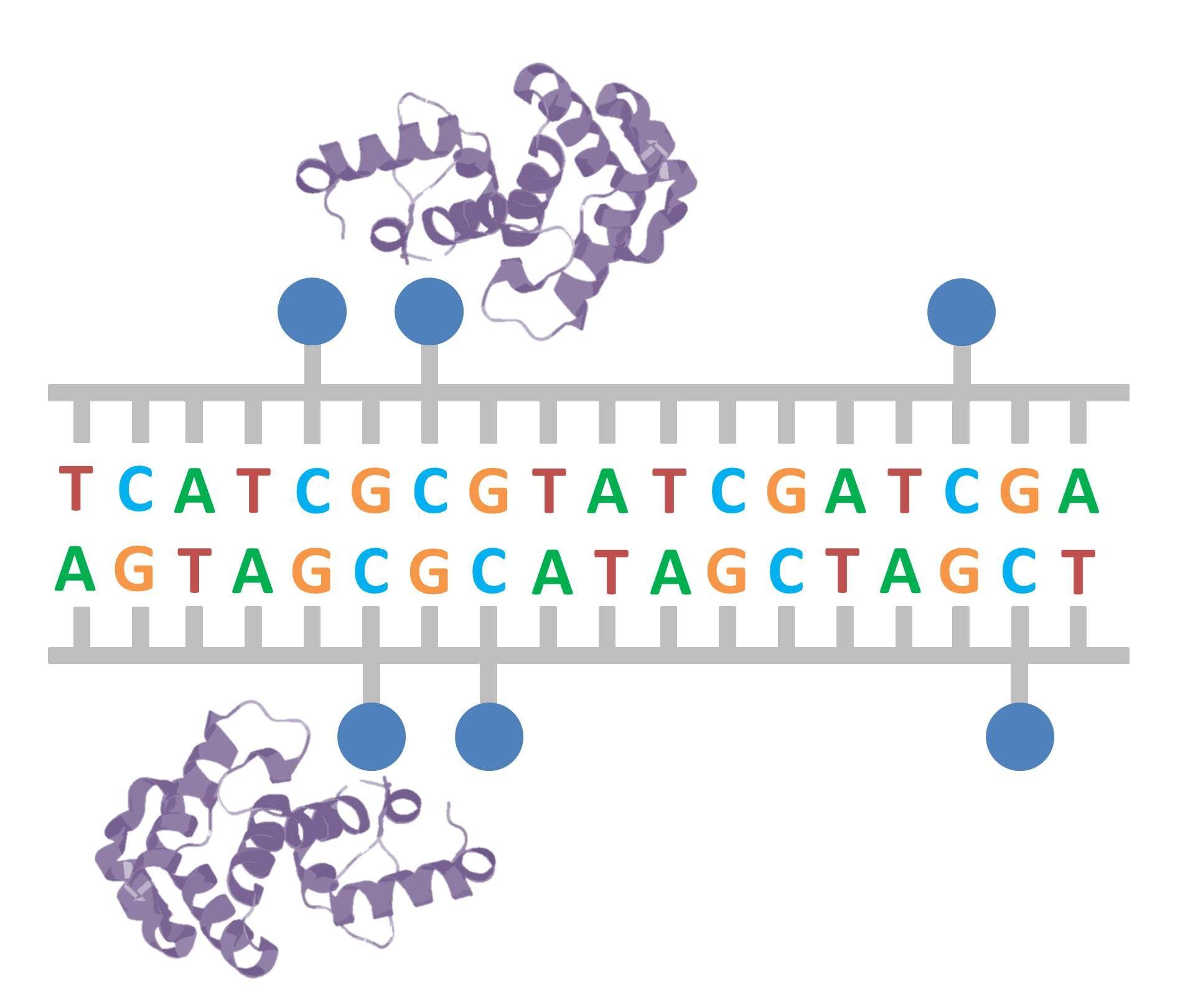 Los grupos metilo actúan como señales de reconocimiento sobre el ADN.