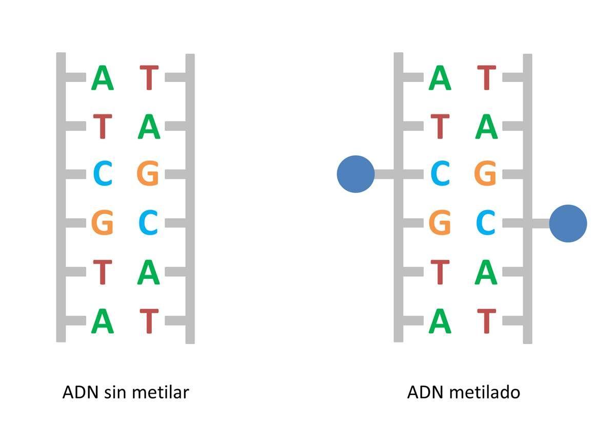 La metilación consiste en la adición de grupos metilo al ADN.