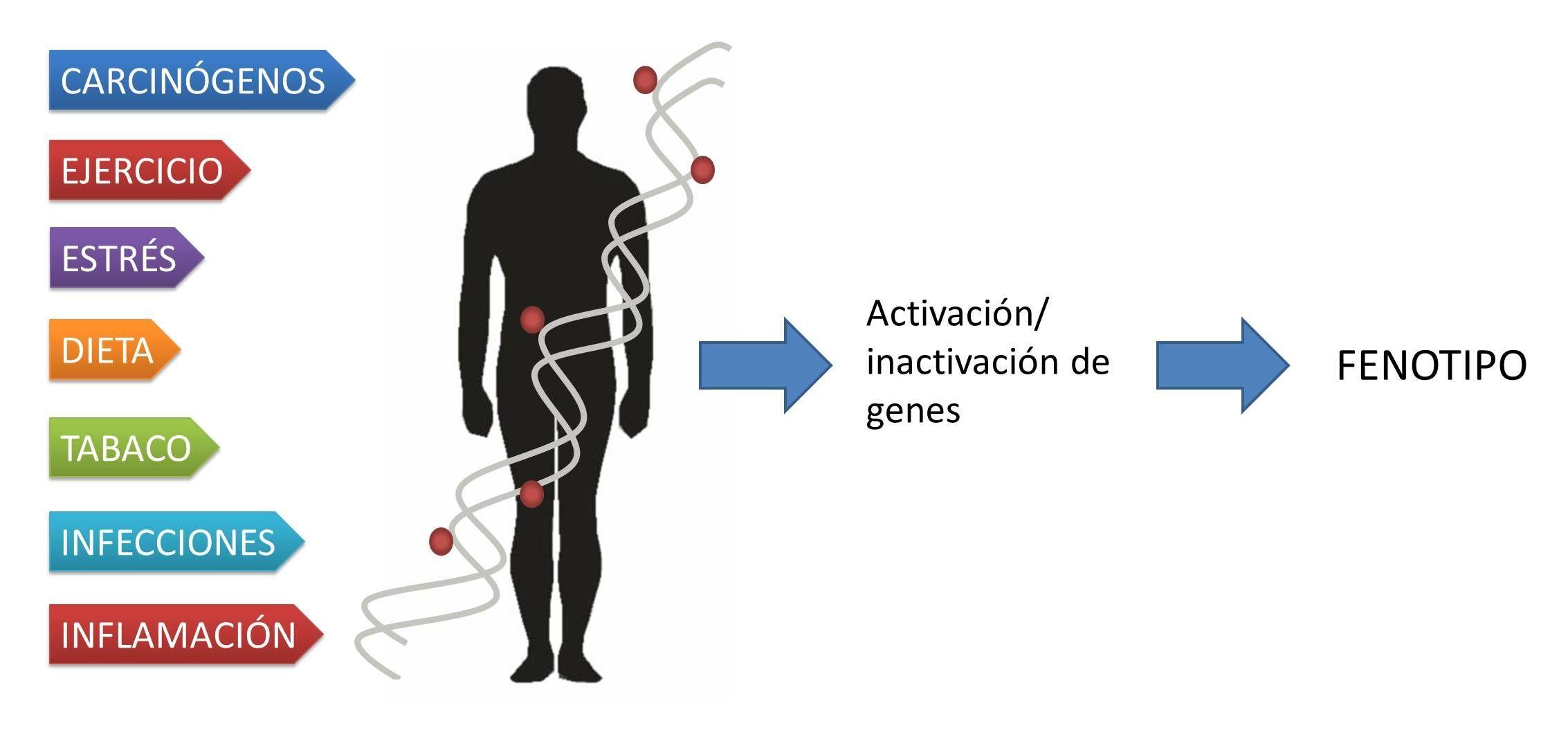 Factores ambientales pueden modificar el estado epigenético e influir en la actividad de los genes.