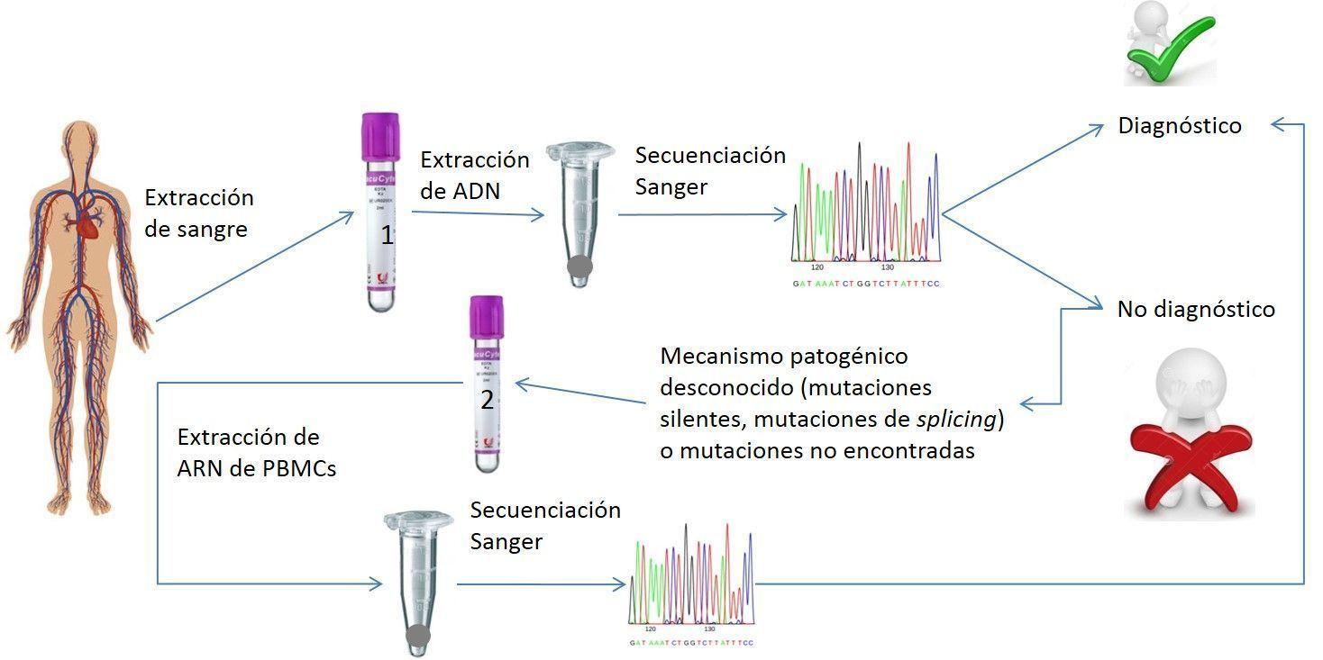 Metodología propuesta por los autores para el diagnóstico genético de la enfermedad de McArdle basada en el estudio del ARN en PBMCs. Imagen cortesía de los autores.