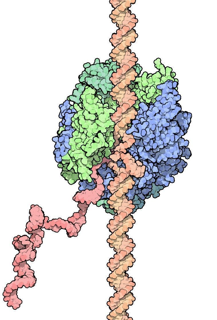 Síntesis de ARN a partir del ADN. Imagen: David Goodsell. PDB-101. Educational portal of the Protein Data Base, doi:10.2210/rcsb_pdb/mom_2003_4.