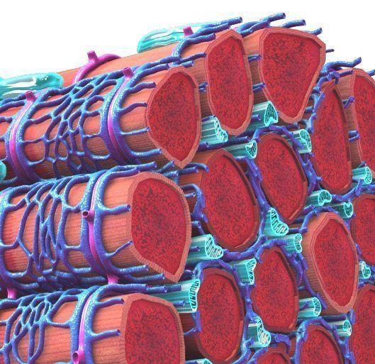 """Detalle de la estructura del músculo esquelético, principal tejidos afectado en la distrofia muscular de Duchenne. Imagen derivada de: Blausen.com staff. """"Blausen gallery 2014"""". Wikiversity Journal of Medicine. DOI:10.15347/wjm/2014.010. ISSN 20018762. [CC BY 3.0 (http://creativecommons.org/licenses/by/3.0)]."""