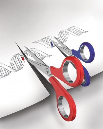 Ilustración que muestra la utilización de los sistemas de edición del genoma como tijeras para cortar el ADN en posiciones específicas. Imagen: L. Solomon and F. Zhang.