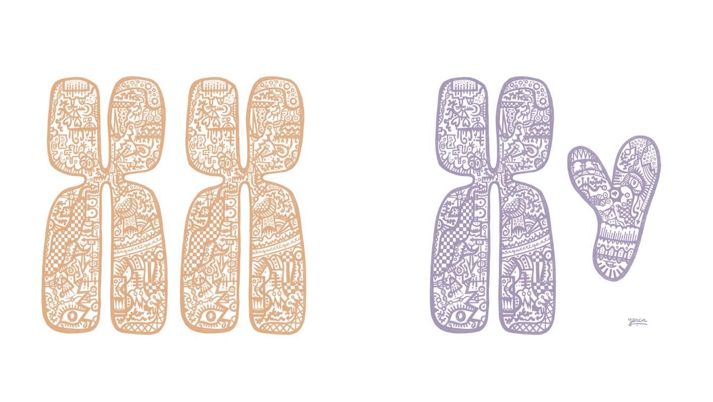 Cromosomas sexuales, responsables de la determinación del sexo en la especie humana. Las mujeres presentan dos cromosomas X y los hombres únicamente uno. Imagen cortesía de Marta Yerca.