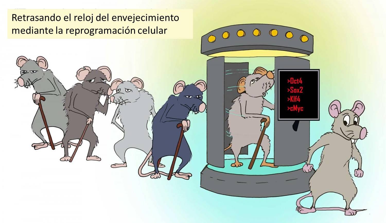 Investigadores del Instituto Salk de Estudios Biológicos, dirigidos por Juan Carlos Izpisúa Belmonte, han conseguido revertir el envejecimiento en células humanas y en ratones mediante reprogramación celular parcial. Imagen cortesía del laboratorio de Juan Carlos Izpisúa Belmonte, Instituto Salk de Estudios Biológicos.