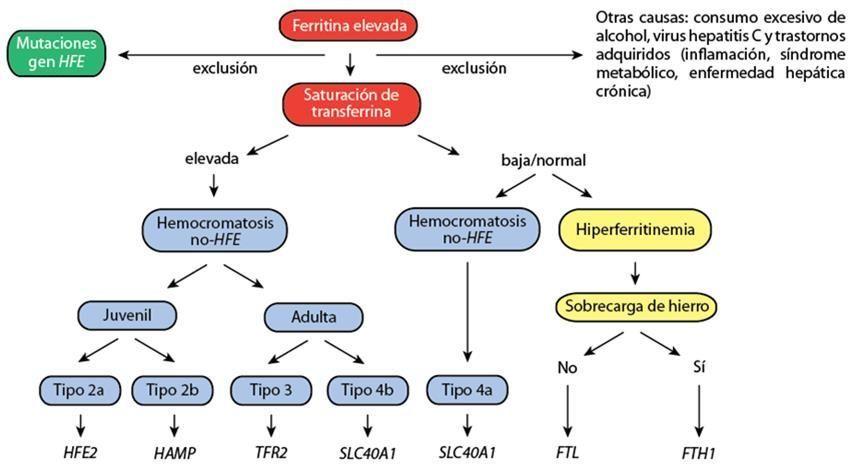 Figura 3: Algoritmo diagnóstico del estudio bioquímico y molecular a seguir para la hemocromatosis hereditaria. Fuente: modificado de Dra. Mayka Sanchez.