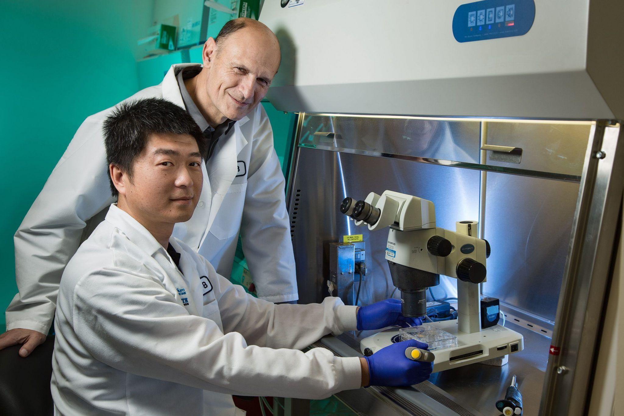 Células madre pluripotenciales inducidas humanas que contribuyen al desarrollo del corazón en un embrión de cerdo. Imagen: Instituto Salk de Estudios Biológicos.