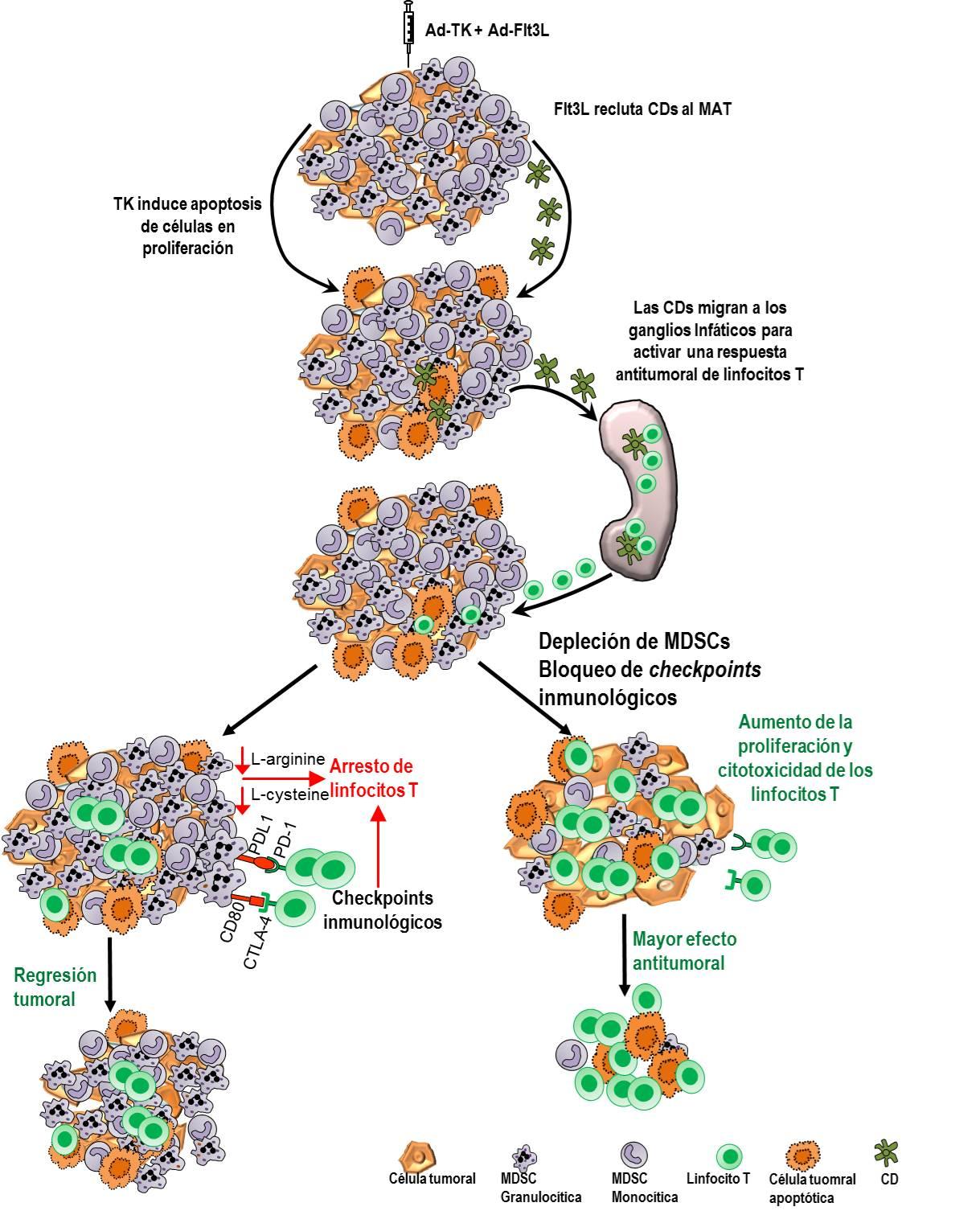 Células mieloides supresoras. El bloqueo de la inmunosupresión mediada por MDSCs o la inhibición de checkpoints inmunológicos aumenta la eficacia de la terapia génica inmunoestimulante con Ad.TK+Ad.Flt3L. La inyección de Ad.TK seguida de la administración de ganciclovir (GCV) induce apoptosis de células tumorales en proliferación. Las células dendríticas (CDs) son reclutadas al microambiente tumoral (MAT) en respuesta a la inyección de Ad.Flt3L. Después de captar los antígenos tumorales liberados por las células apoptóticas, las CDs los transportan a los ganglios linfáticos para activar una respuesta antitumoral de linfocitos T. Los linfocitos T activados migran al tumor y destruyen a las células tumorales remanentes. En ausencia de MDSCs inmunosupresoras y de señalización por checkpoints inmunológicos se optimiza la activación de linfocitos T citotóxicos antitumorales, mejorando la eficacia de la inmunoterapia génica, aumentando la eficacia antitumoral y la supervivencia a largo plazo.