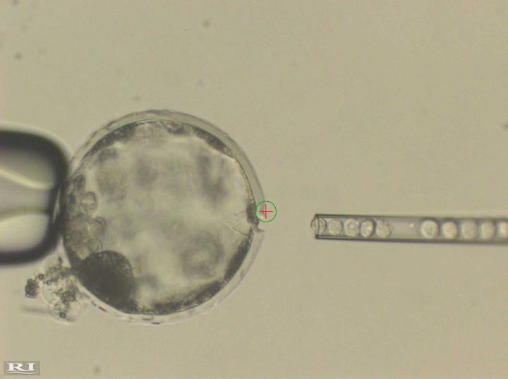 Inyección de células madre pluripotentes inducidas en un embrión de cerdo. Imagen, cortesía de Juan Carlos Izpisúa Belmonte, Instituto Salk de Estudios Biológicos.