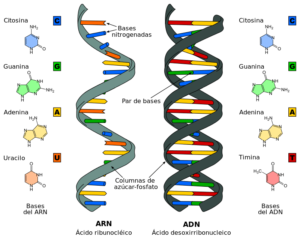 Diferencias estructurales entre ADN y ARN. Imagen: Sponktranslation - Difference_DNA_RNA-EN.svg - CC BY-SA 3.0