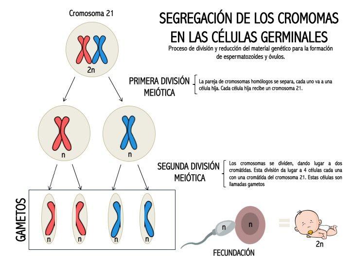 Todo Lo Que No Sabías Acerca Del Síndrome De Down Genotipia
