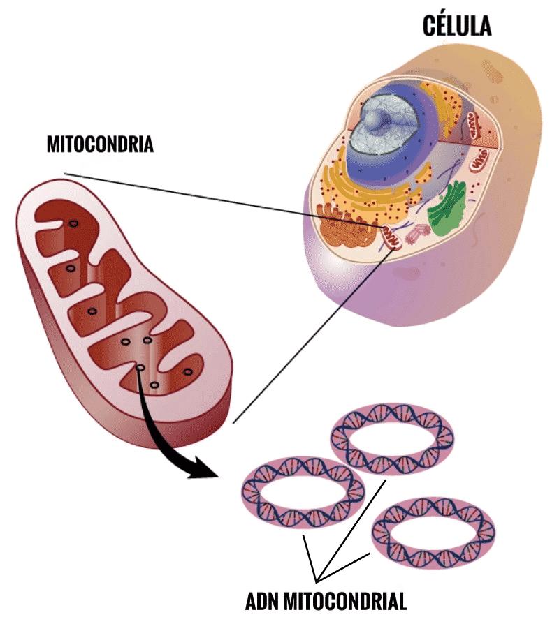 diabetes hereditaria mitocondrial y sordera genética