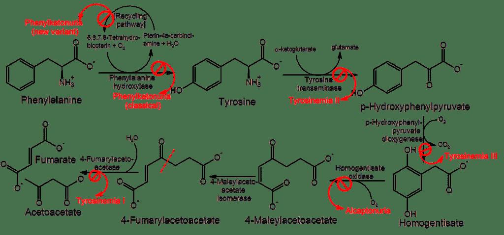alcaptonuria, ruta metabólica, fenilalanina, tirosina