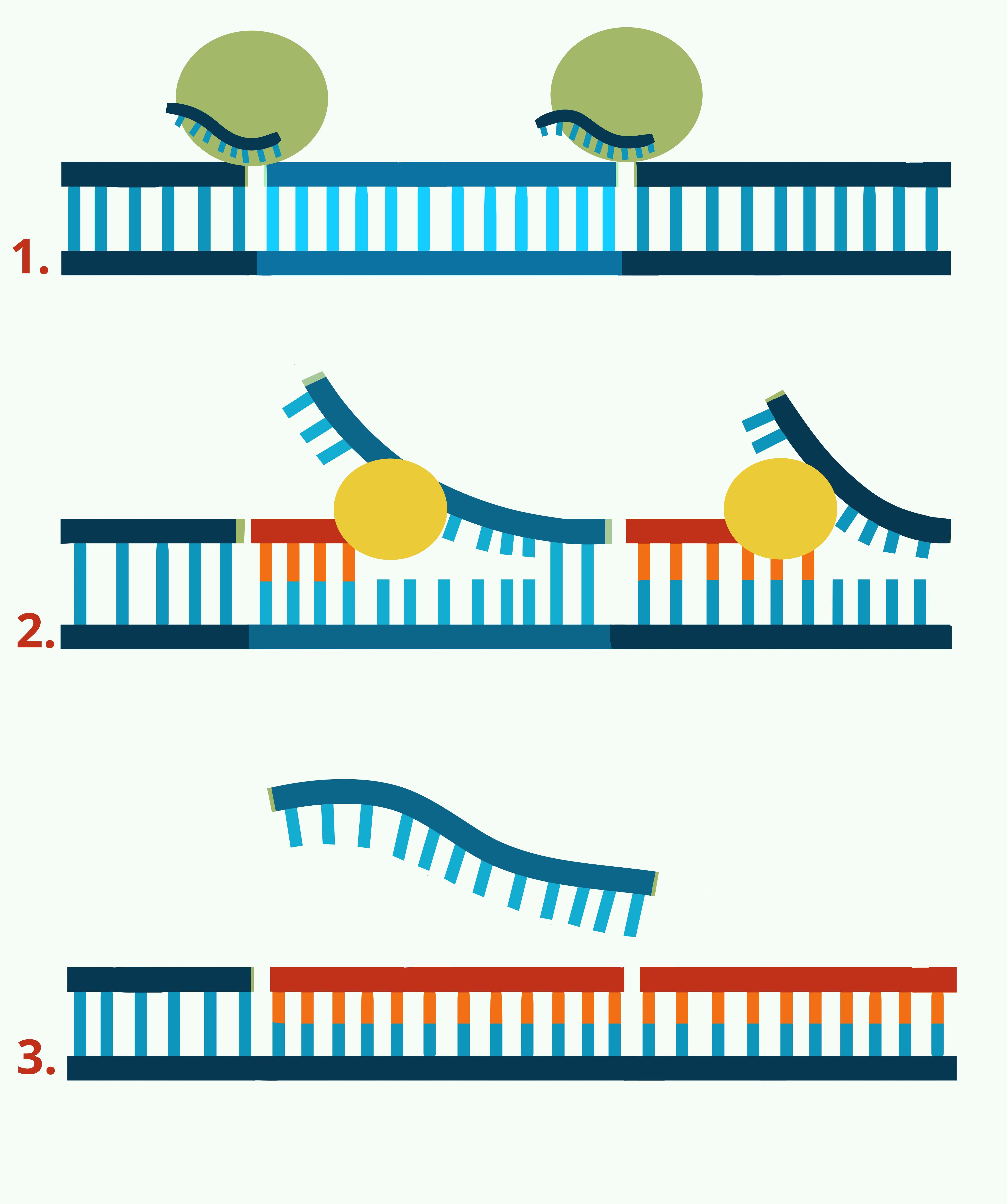PCR CRISPR