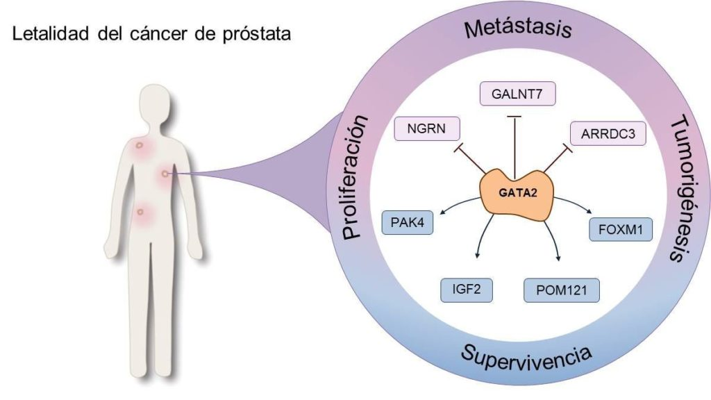próstata que hala función