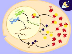 ciclo circadiano, genes period, gen timeless