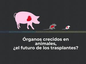 órganos, cerdo, rata, ratón, quimerismo