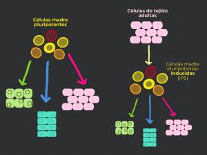 células madre, pluripotencia, células pluripotentes
