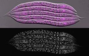 gusanos humanizados