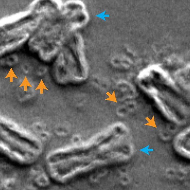 ADN circular extracromosómico