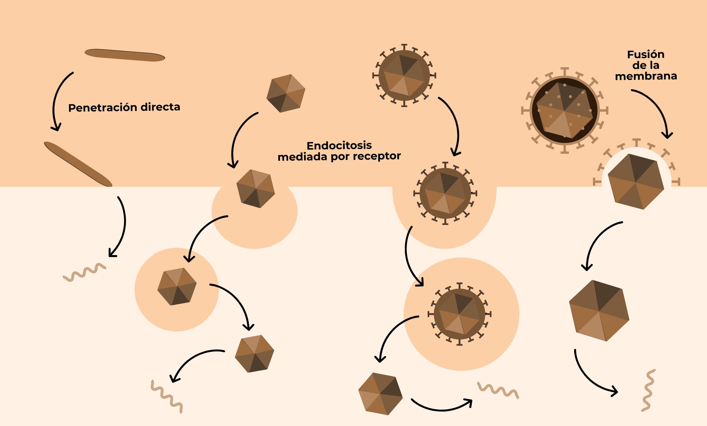 Virus III: El ciclo reproductivo de los virus -