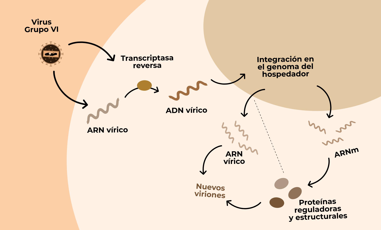 esquema de la reproduccion de los virus