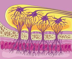 neurogenesis adultos