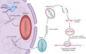 Proceso de síntesis de los microARNs